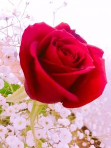 愛してるバラ